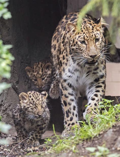 imagenes del jaguar con sus crias primera aparici 243 n p 250 blica de 2 cachorros de leopardo del