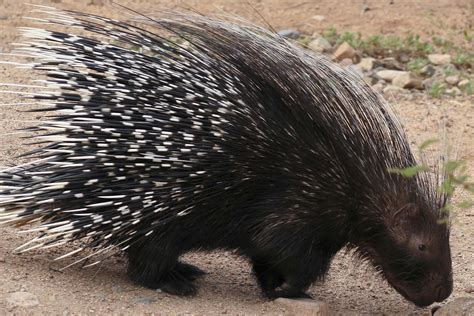 porcupine quills in porcupine quills in dogs symptoms causes diagnosis treatment recovery