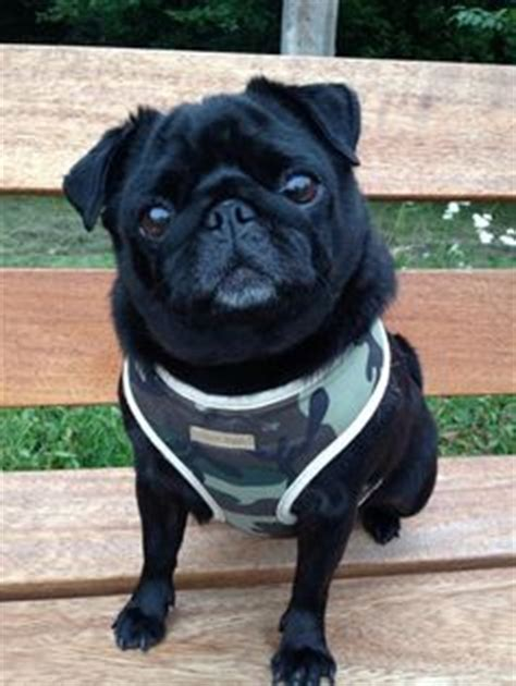 pug harness uk 1000 images about pugs in our harness s bandanas on army camo bandanas