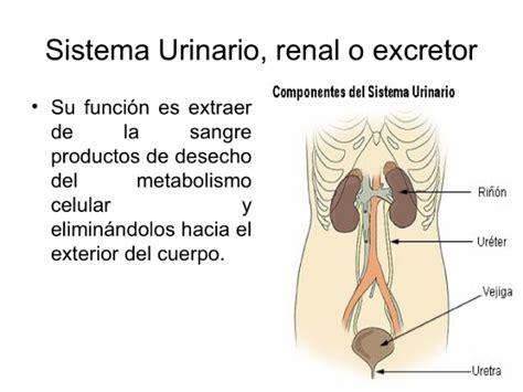 sistema excretor slideshare sistema urinario