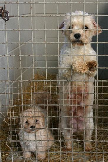 puppy farms the about puppy farms in ireland mollys