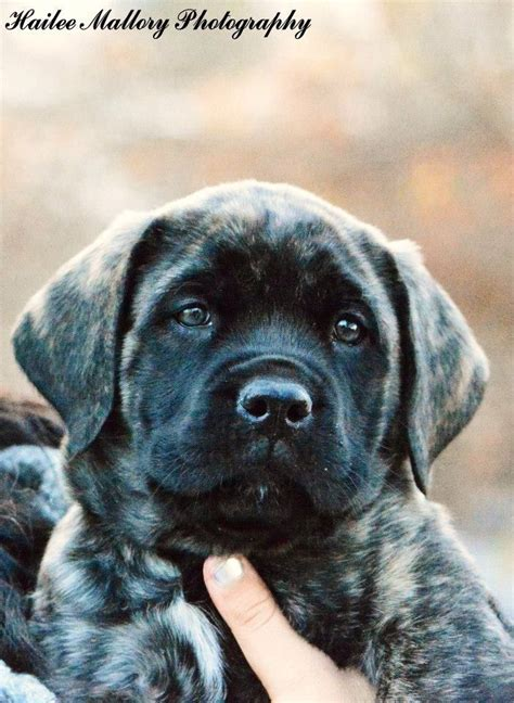 brindle mastiff puppy pin by rausch on animals mastiffs