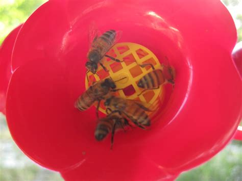 Keeping Bees Hummingbird Feeders keeping bees hummingbird feeders home improvement