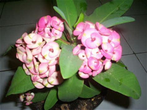 Pupuk Bunga Euphorbia mengulas tanaman hias tanaman hias