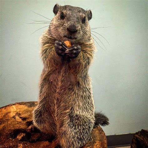 groundhog day length groundhog day 2018 will punxsutawney phil and birmingham