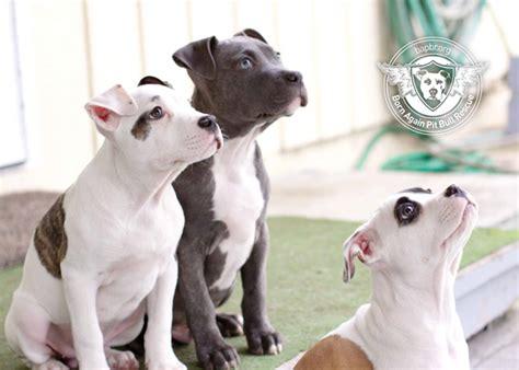 pitbull puppies oregon rescue spotlight born again pit bull rescue stubbydog