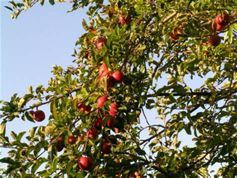 fruit tree information