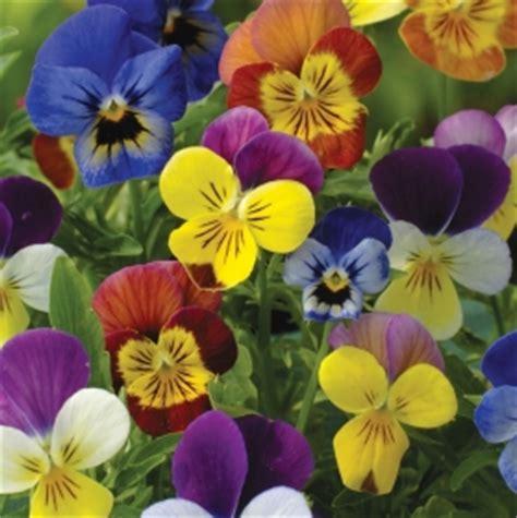 Jual Bibit Bunga Viola jual aneka bibit bunga hias jual bibit bunga murah