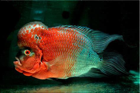 Pakan Ikan Louhan Bonsai journey of flowerhorn louhan stres pada ikan louhan