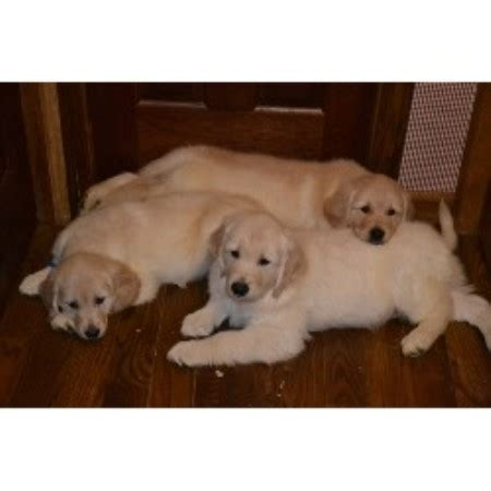 golden retriever breeders maine golden retriever breeders in maine