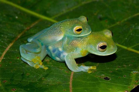 imagenes de ranas blancas im 225 genes de la rana transparente univision