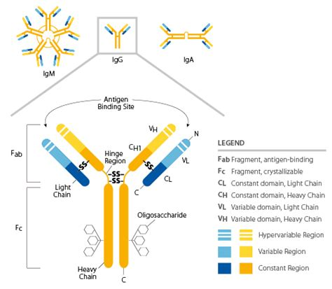 difference between kappa and lambda light chains immunoglobulin structure and classes thermo fisher