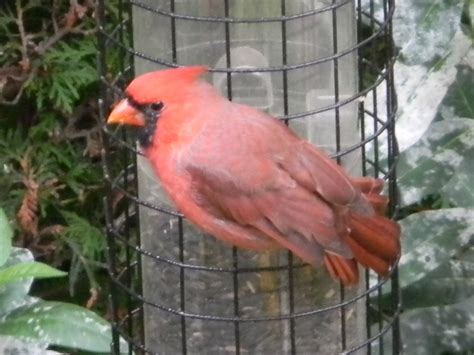Search Pictures Of Pictures Of Pink Cardinals Aol Image Search Results