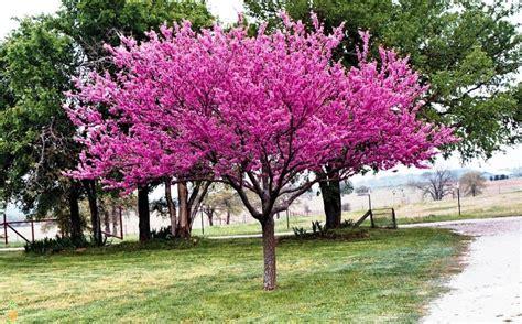 eastern redbud tree the planting tree