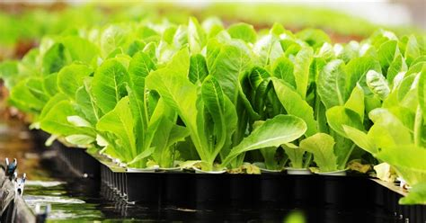 cara membuat green house hidroponik bagaimana membuat sayuran hidroponik nyaman seperti tumbuh