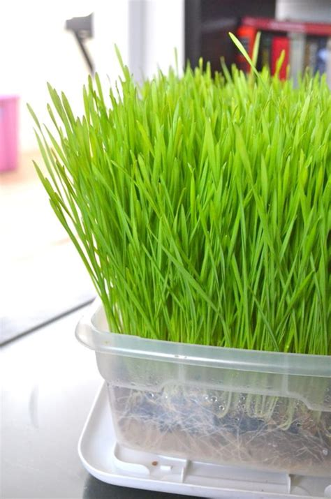 easy grow wheatgrass vegetables health and fresh vegetables on pinterest