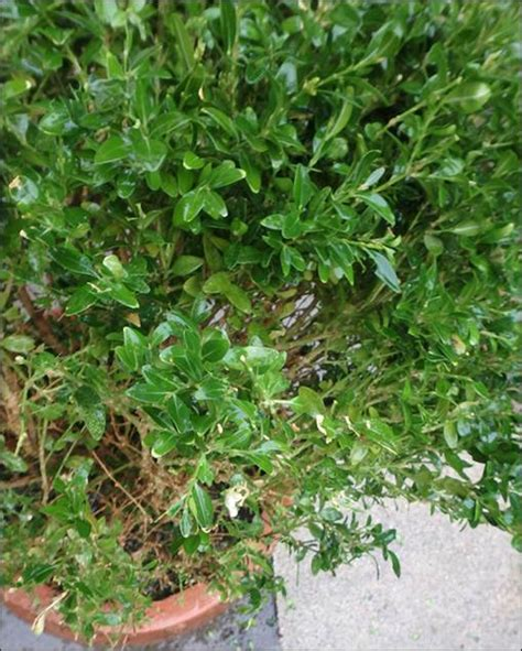 stadt stuttgart garten kaufen buchsbaum befall in n 252 rtingen stuttgart vom