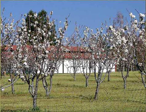 cherry tree kansas best fruit trees for kansas rural messenger