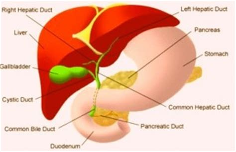 where is human liver located diagram where is the liver located in the human diagram