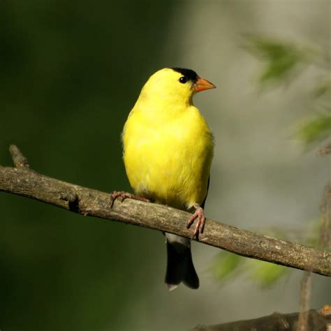 file american goldfinch 4570024705 jpg wikimedia commons