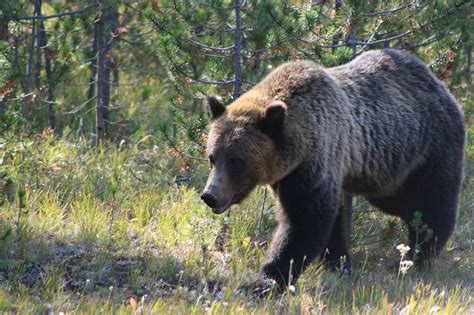 Grizzly Bears Yellowstone National Park U S National Park Service - yellowstone national park national park in united states