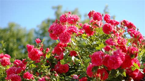 backyard rose gardens hoontoidly rose flower garden wallpaper images