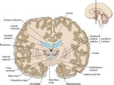 coronal section of human brain did i find the quot super quantum quot level page 1 nursing