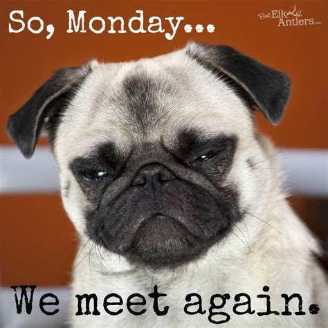 Happy Monday Meme - we meet again monday dog funny funny animals