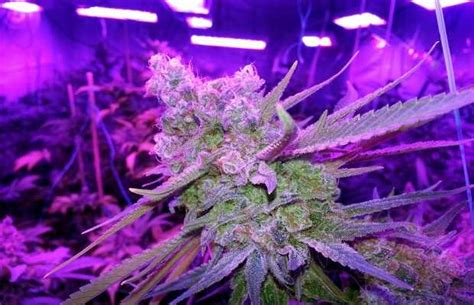 plants that grow in rooms building an indoor marijuana grow room