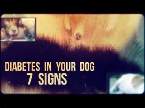 signs of diabetes in dogs hqdefault jpg