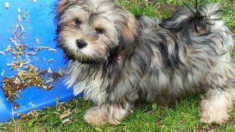 shih tzu mixed with yorkie for sale shih tzu maltese mix mal shi breeds picture