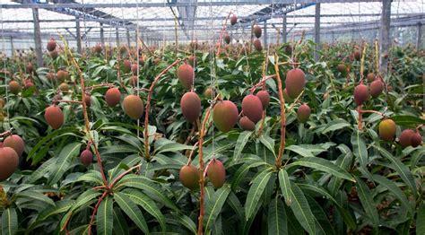 Jual Bibit Buah Yang Sudah Berbuah tanaman mangga irwin bibitbunga