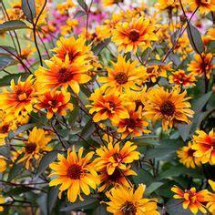 bleeding hearts ox eye sunflower heliopsis