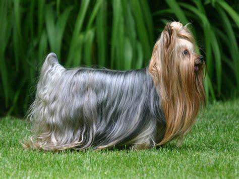 yorkie puppy development yorkie puppy leisa precious pups
