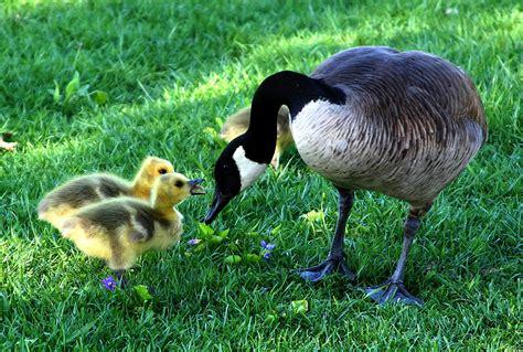 wwwwild bird photocom3gp bakgrundsbilder natur gr 228 s vilda djur och v 228 xter fluffig n 228 bb fauna vilda liv familj