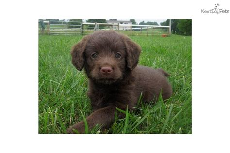 labradoodle puppies columbus ohio labradoodle for sale for 1 350 near columbus ohio f60c3381 3b01