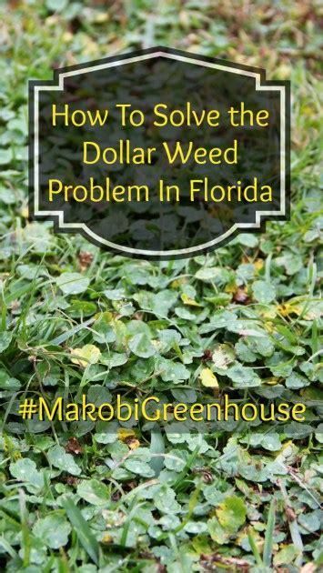 three tips to get rid of dollar weed in florida makobi scribe