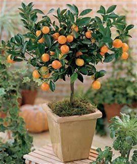 when do trees go on sale um pomar em vasos jardim das ideias stihl dicas de
