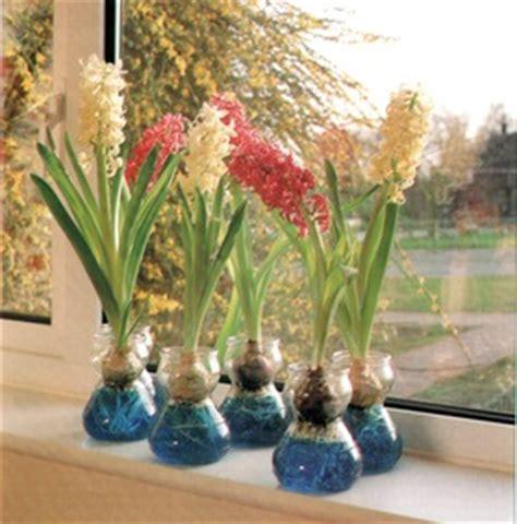 giacinti in casa come coltivare i giacinti in casa un idea originale coi