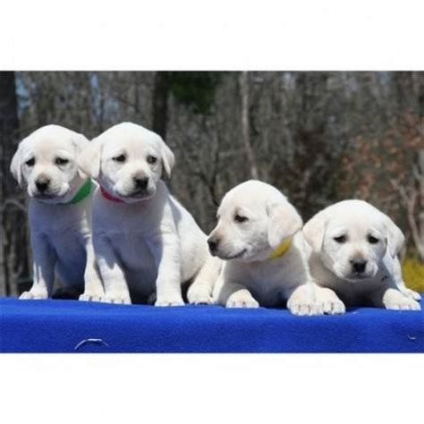 white lab puppies for sale in florida white labrador retriever puppies ready for sale adoption from florida miami dade