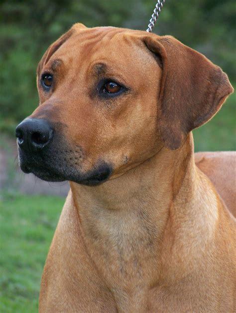rhodesian ridgeback puppies rhodesian ridgeback breeders