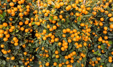 new year oranges with leaves why mandarin oranges luck in the new year crispy