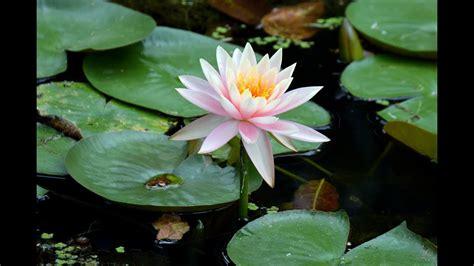 Bibit Bunga Teratai cara menanam bunga teratai
