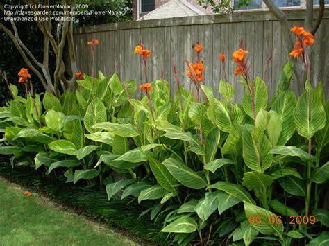 plantfiles pictures orange flowered variegated canna lily pretoria canna americanallis var