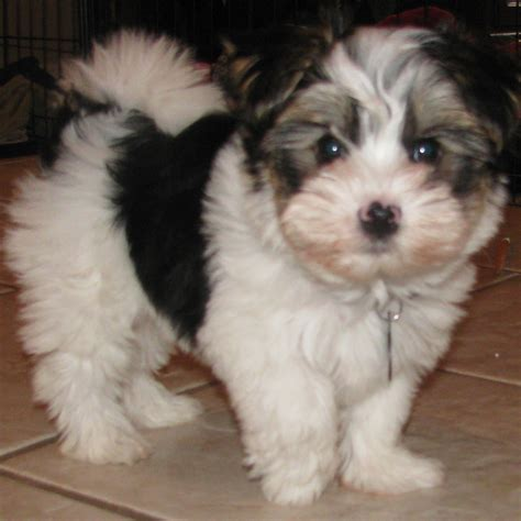 teacup shih tzu puppies for sale in ta fl biewer yorkie puppies for sale
