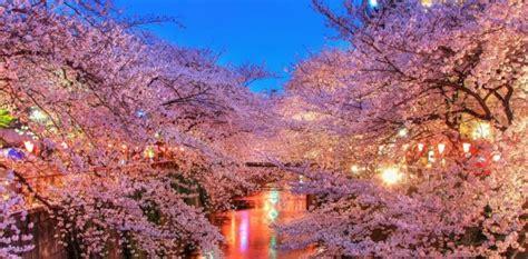 sui fiori di ciliegio i fiori di ciliegio giappone hanami