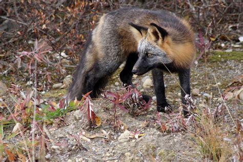 Pet Cross Fox Pendek cross fox attetion alaska by whoodat photo weather underground