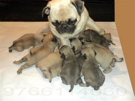 cost of pug puppies pug puppies for sale ganesh trainer 1 13371 dogs