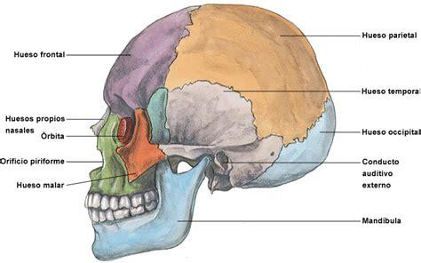 imagenes de huesos temporales cuerpo humano dibujos de los huesos del craneo y sus partes
