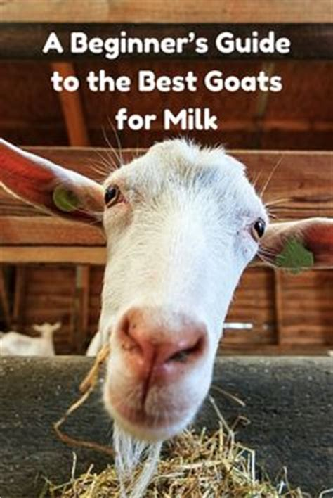 raising dairy goats a beginners starters guide to raising dairy goats books this is the complete beginner s guide to raising goats at